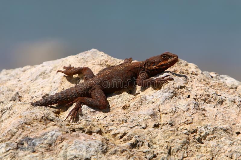 The lizard sits on a big rock. And basks in the sun stock image