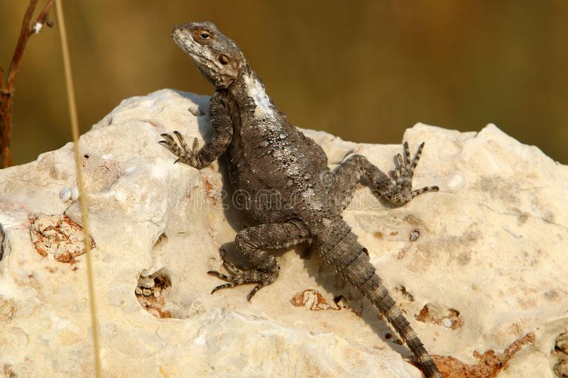 The lizard sits on a big rock and basks in the sun. The lizard sits on a large rock on the shores of the Mediterranean Sea and basks in the sun stock photography