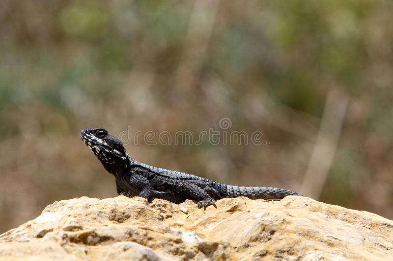 The lizard sits on a big rock and basks in the sun. A lizard sits on a big rock and basks under the sun on the shores of the Mediterranean in Israel stock photography