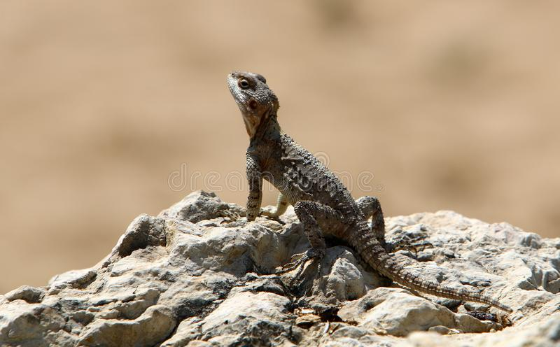 The lizard sits on a big rock and basks in the sun. A lizard sits on a big rock and basks under the sun on the shores of the Mediterranean in Israel stock images