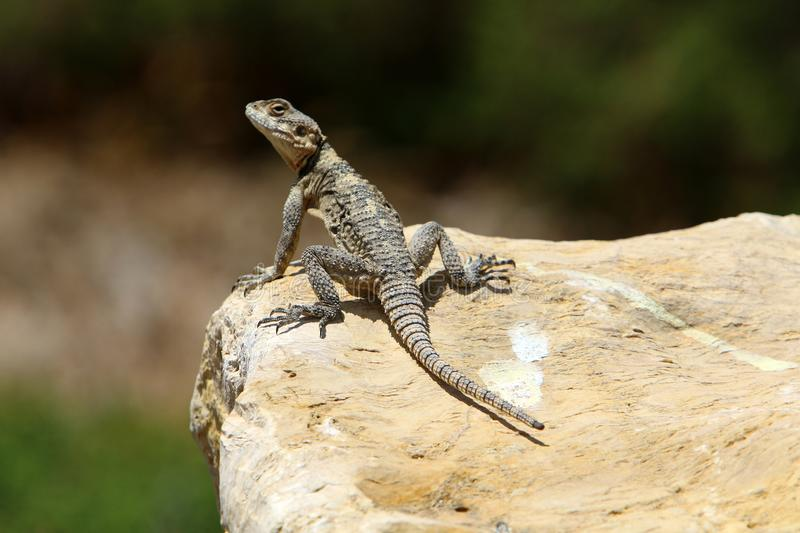 The lizard sits on a big rock and basks in the sun. A lizard sits on a big rock and basks under the sun on the shores of the Mediterranean in Israel royalty free stock photo