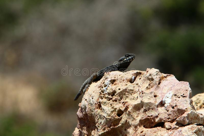 The lizard sits on a big rock and basks in the sun. A lizard sits on a big rock and basks under the sun on the shores of the Mediterranean in Israel royalty free stock images