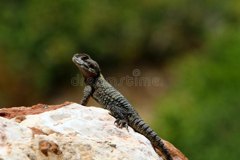 The lizard sits on a big rock and basks in the sun. A lizard sits on a big rock and basks under the sun on the shores of the Mediterranean in Israel royalty free stock photos