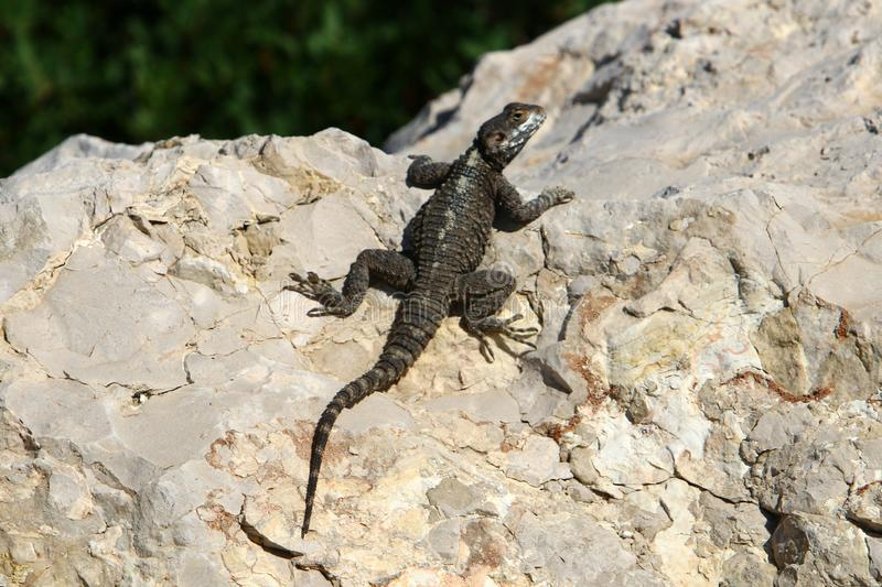 The lizard sits on a big rock and basks in the sun. A lizard sits on a big rock and basks under the sun on the shores of the Mediterranean in Israel stock image