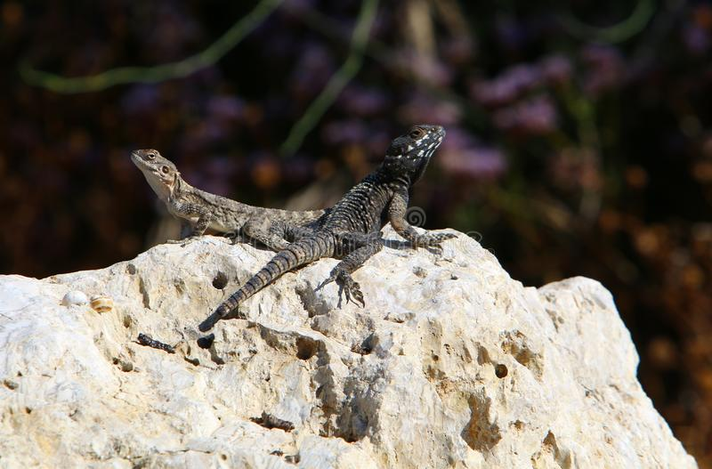 The lizard sits on a big rock and basks in the sun. A lizard sits on a big rock and basks under the sun on the shores of the Mediterranean in Israel stock photos
