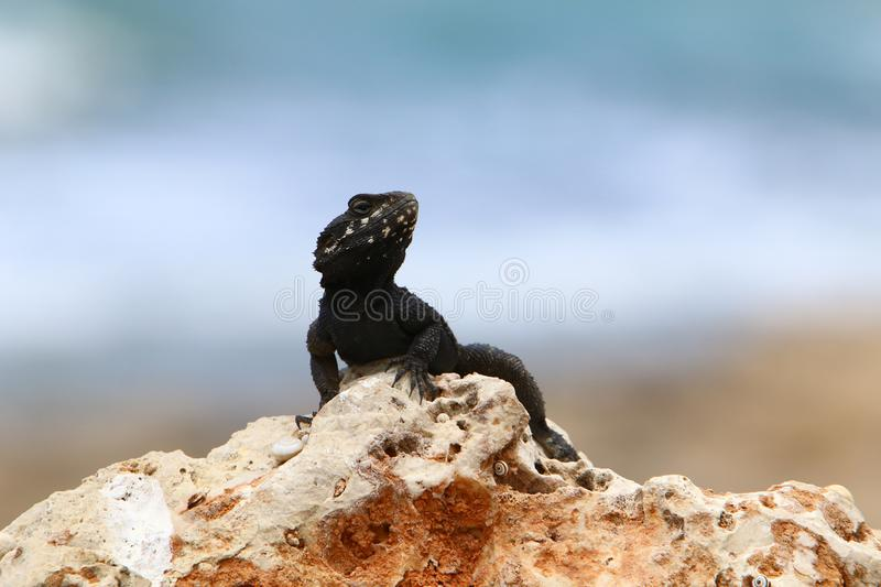 The lizard sits on a big rock and basks in the sun. A lizard sits on a big rock and basks under the sun on the shores of the Mediterranean in Israel stock photo