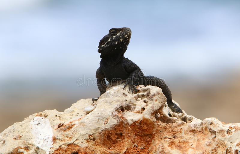 The lizard sits on a big rock and basks in the sun. A lizard sits on a big rock and basks under the sun on the shores of the Mediterranean in Israel royalty free stock image
