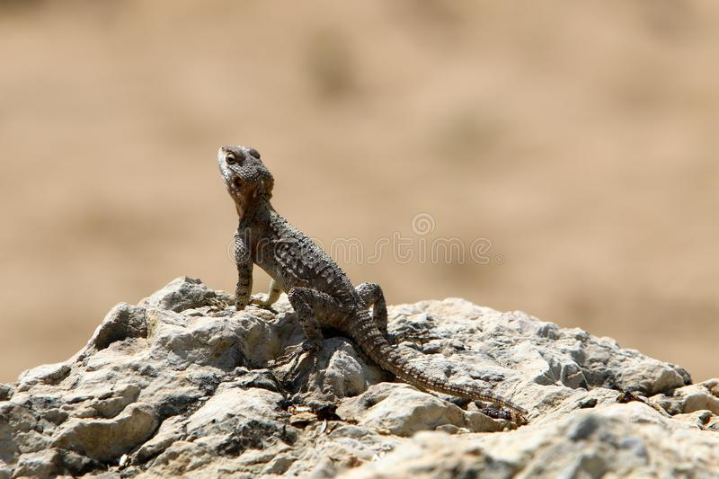 The lizard sits on a big rock and basks in the sun. A lizard sits on a big rock and basks under the sun on the shores of the Mediterranean in Israel royalty free stock photography