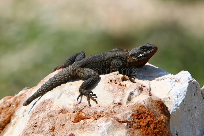 The lizard sits on a big rock. And basks in the sun royalty free stock photos