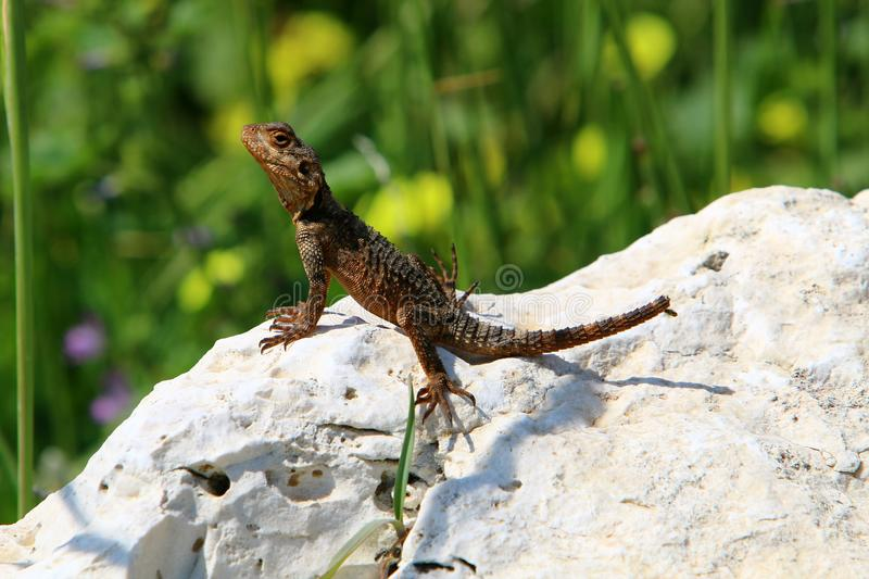 The lizard sits on a big rock. And basks in the sun royalty free stock image