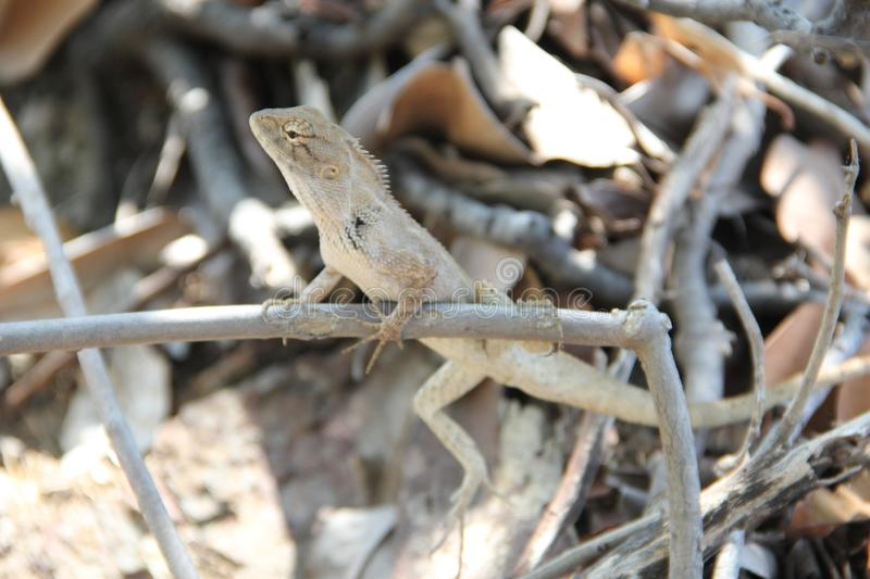 Lizard sits on the branches royalty free stock images
