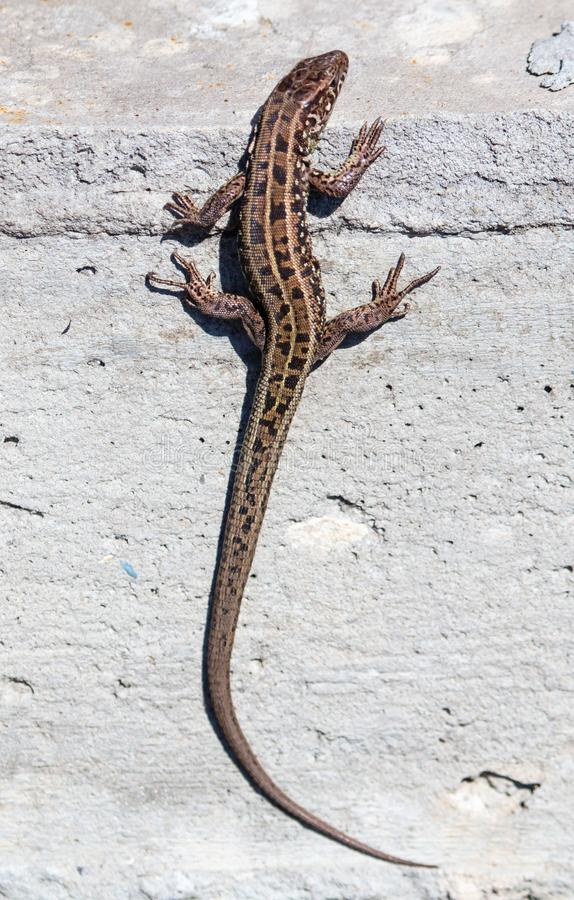 The lizard sits on a concrete wall.  royalty free stock photography