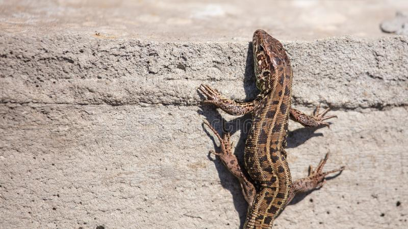The lizard sits on a concrete wall.  stock image