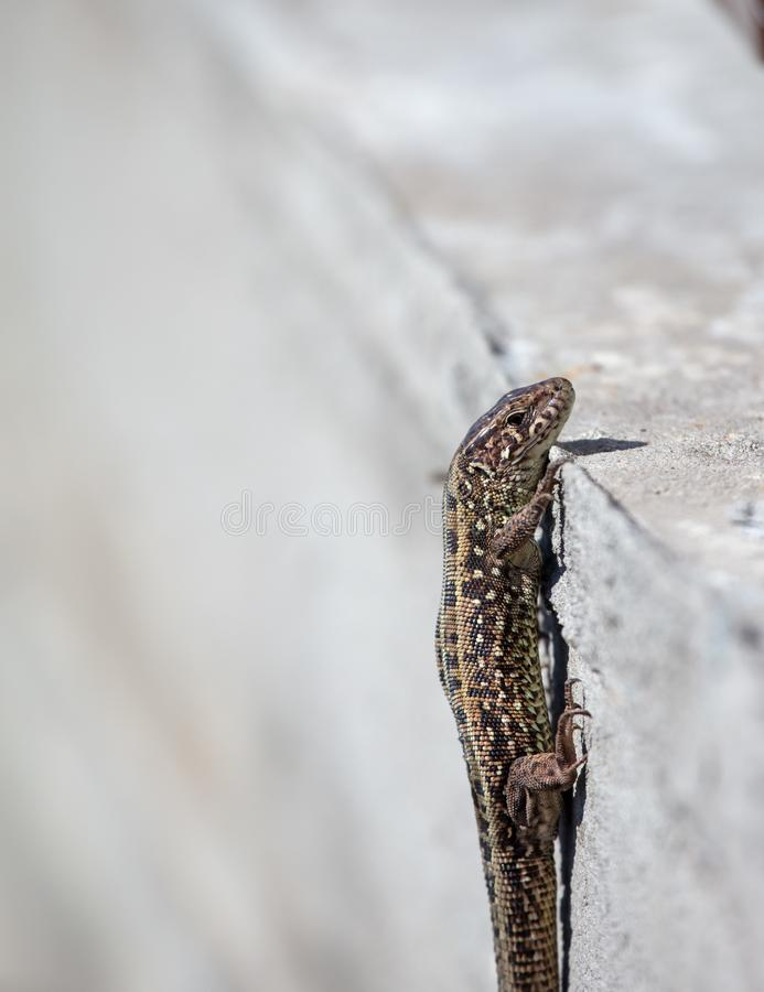 The lizard sits on a concrete wall.  royalty free stock images