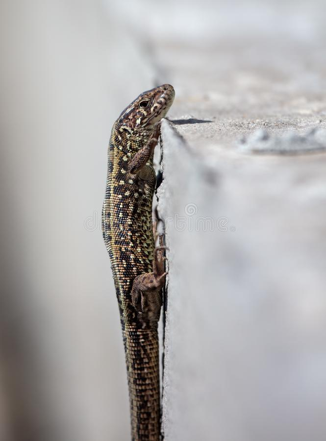 The lizard sits on a concrete wall.  royalty free stock image