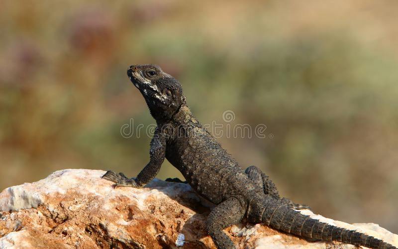 The lizard sits on a big rock and basks in the sun. The lizard sits on a large rock on the shores of the Mediterranean Sea and basks in the sun stock photos