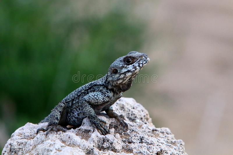 The lizard sits on a big rock and basks in the sun. The lizard sits on a large rock on the shores of the Mediterranean Sea and basks in the sun stock images