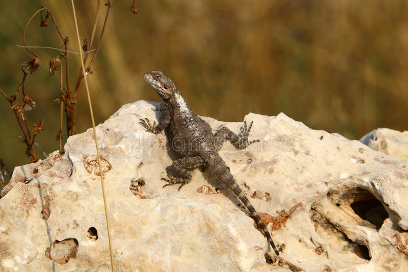 The lizard sits on a big rock and basks in the sun. The lizard sits on a large rock on the shores of the Mediterranean Sea and basks in the sun stock image