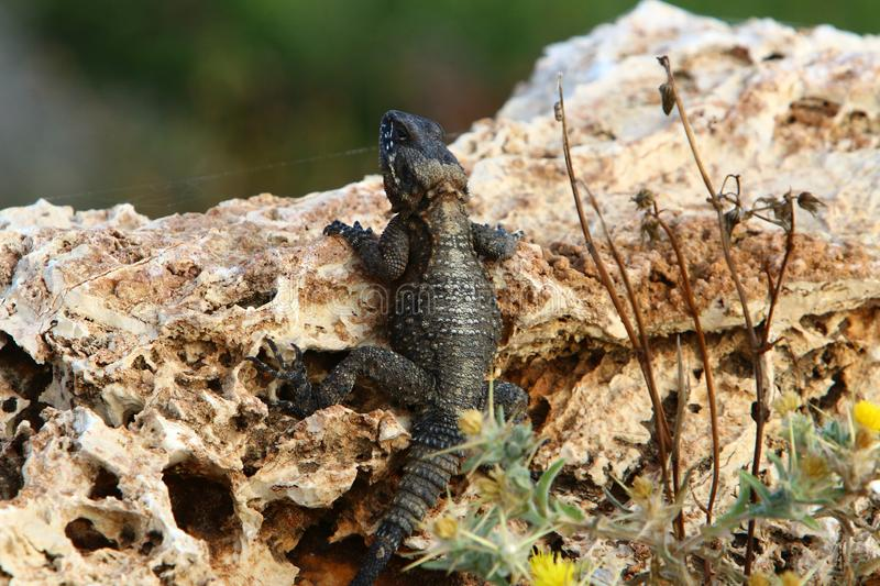 The lizard sits on a big rock and basks in the sun. The lizard sits on a large rock on the shores of the Mediterranean Sea and basks in the sun stock photo