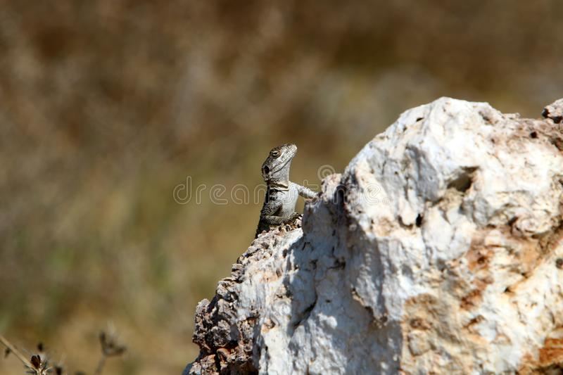 A lizard sits on a large stone on the shores of the Mediterranean Sea and basks in the sun. The lizard sits on a large stone on the shores of the Mediterranean royalty free stock images