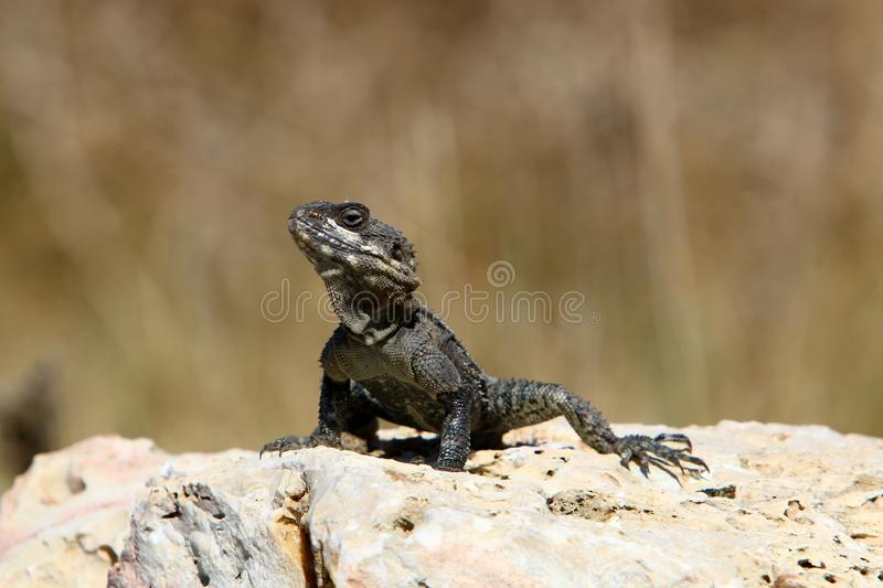 A lizard sits on a large stone on the shores of the Mediterranean Sea and basks in the sun. The lizard sits on a large stone on the shores of the Mediterranean stock photography