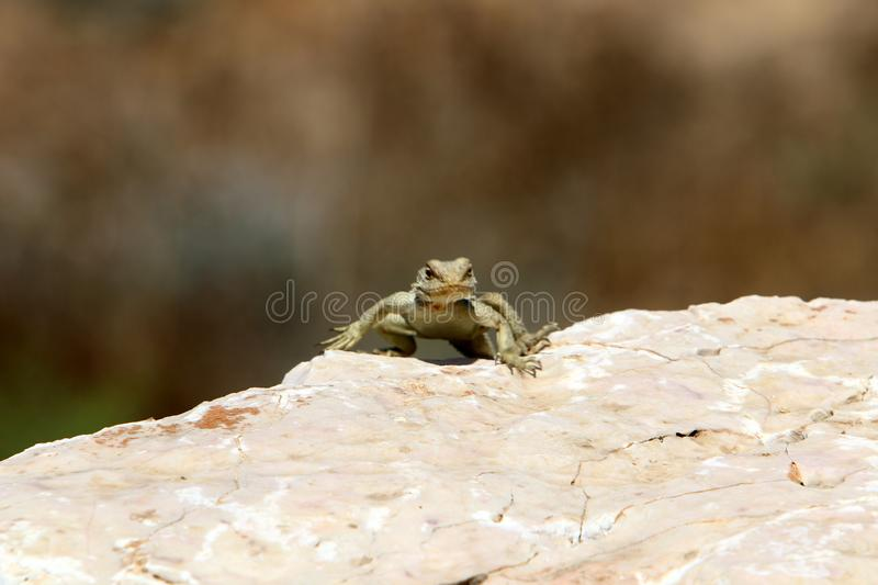 A lizard sits on a large stone on the shores of the Mediterranean Sea and basks in the sun. The lizard sits on a large stone on the shores of the Mediterranean stock image