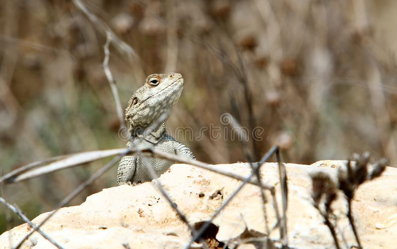 A lizard sits on a large stone on the shores of the Mediterranean Sea and basks in the sun. The lizard sits on a large stone on the shores of the Mediterranean royalty free stock image