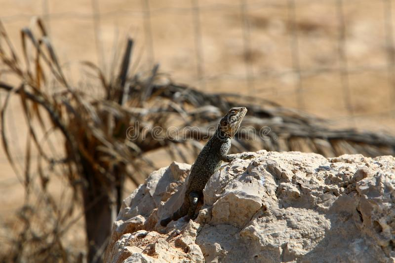 A lizard sits on a large stone on the shores of the Mediterranean Sea and basks in the sun. The lizard sits on a large stone on the shores of the Mediterranean stock photos