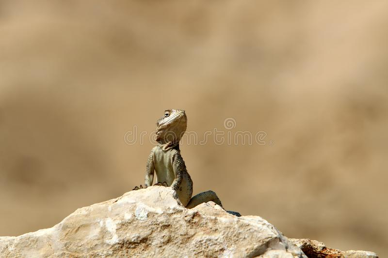 A lizard sits on a large stone on the shores of the Mediterranean Sea and basks in the sun. The lizard sits on a large stone on the shores of the Mediterranean royalty free stock photo