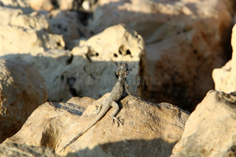 A lizard sits on a large stone on the shores of the Mediterranean Sea and basks in the sun. The lizard sits on a large stone on the shores of the Mediterranean stock images