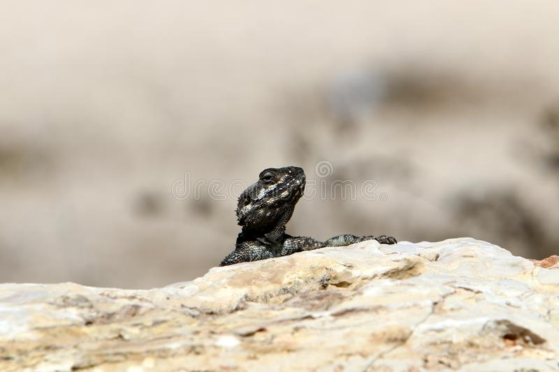 A lizard sits on a large stone on the shores of the Mediterranean Sea and basks in the sun. The lizard sits on a large stone on the shores of the Mediterranean royalty free stock photography