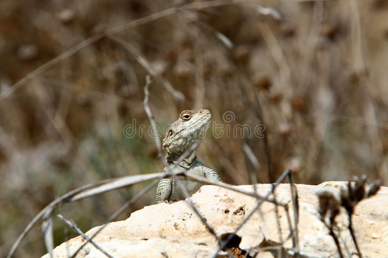 A lizard sits on a large stone on the shores of the Mediterranean Sea and basks in the sun. The lizard sits on a large stone on the shores of the Mediterranean stock photo