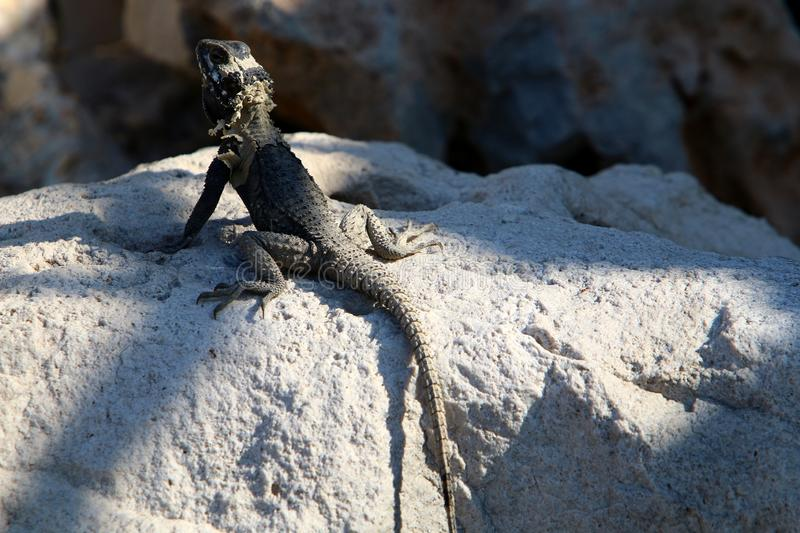 A lizard sits on a large stone on the shores of the Mediterranean Sea and basks in the sun. The lizard sits on a large stone on the shores of the Mediterranean royalty free stock photos