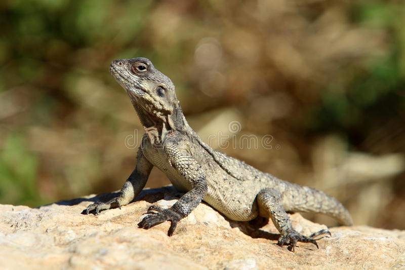 The lizard sits on a rock royalty free stock photography