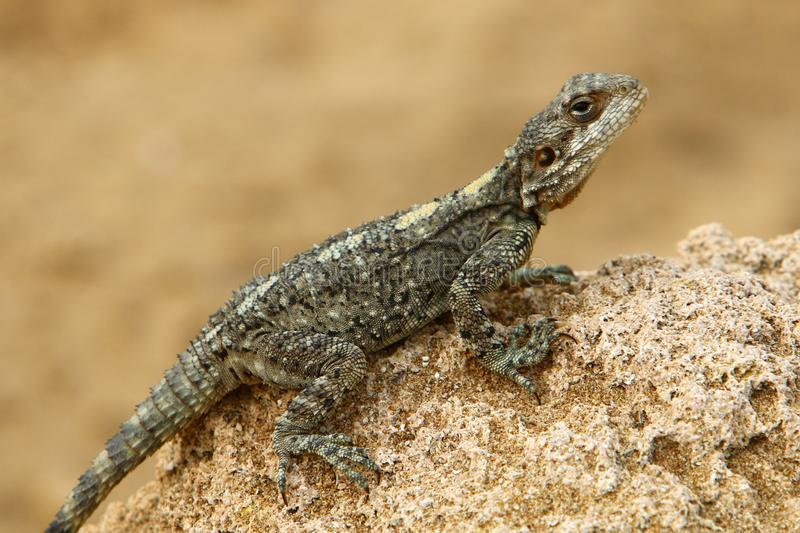 The lizard sits on a rock. Lizard sits on a rock and basks under the sun royalty free stock photo