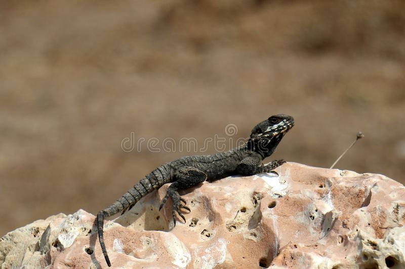 The lizard sits on a rock. Lizard sits on a rock and basks under the sun stock photo