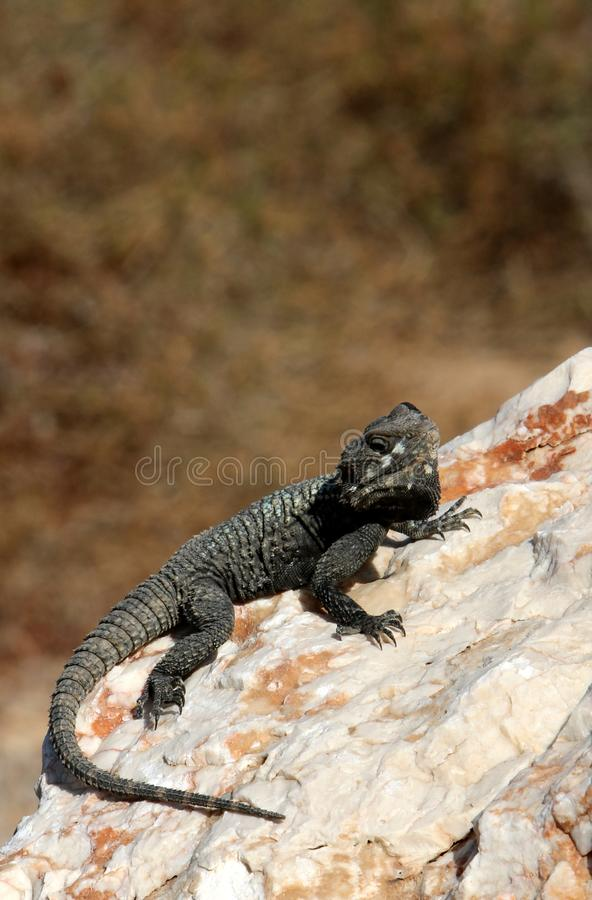 The lizard sits on a rock. Lizard sits on a rock and basks under the sun stock image
