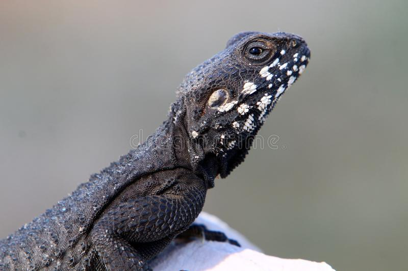 The lizard sits on a rock. Lizard sits on a rock and basks under the sun royalty free stock images