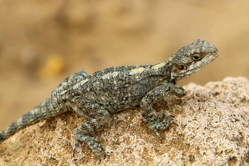 The lizard sits on a rock. Lizard sits on a rock and basks under the sun royalty free stock image