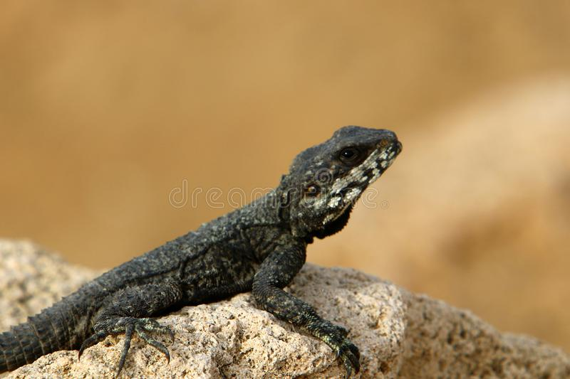The lizard sits on a rock. Lizard sits on a rock and basks under the sun royalty free stock photos