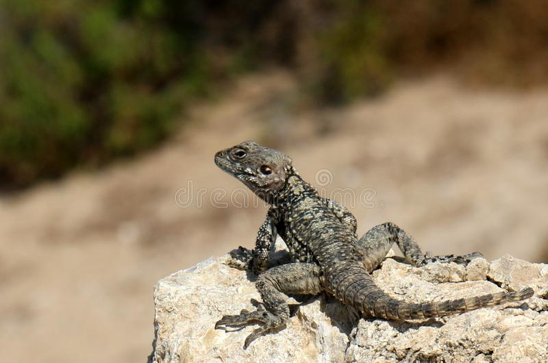 The lizard sits on a rock. Lizard sits on a rock and basks under the sun stock photography