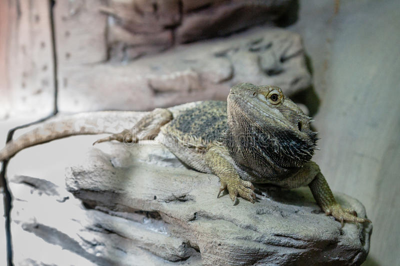 The lizard sits on a rock. Close-up stock photos