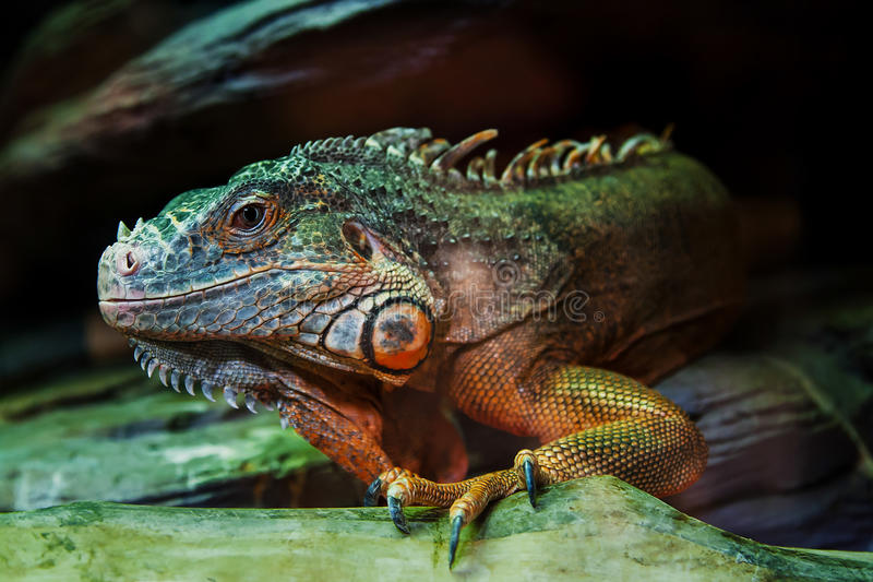 The lizard sits on a rock. Close-up stock photo