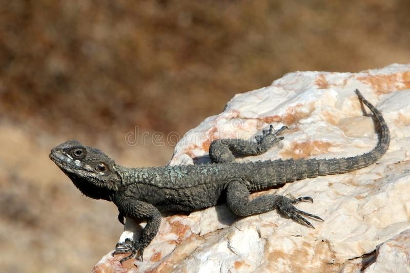 The lizard sits on a rock. Lizard sits on a rock and basks under the sun stock images