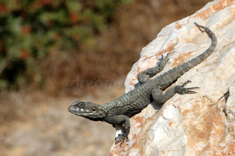 The lizard sits on a rock. Lizard sits on a rock and basks under the sun royalty free stock photography
