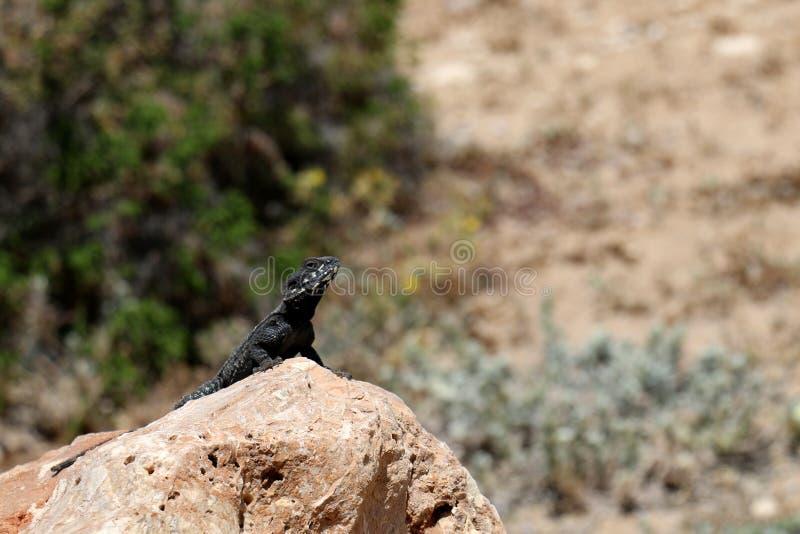 The lizard sits on a rock. Lizard sits on a rock and basks under the sun stock photos