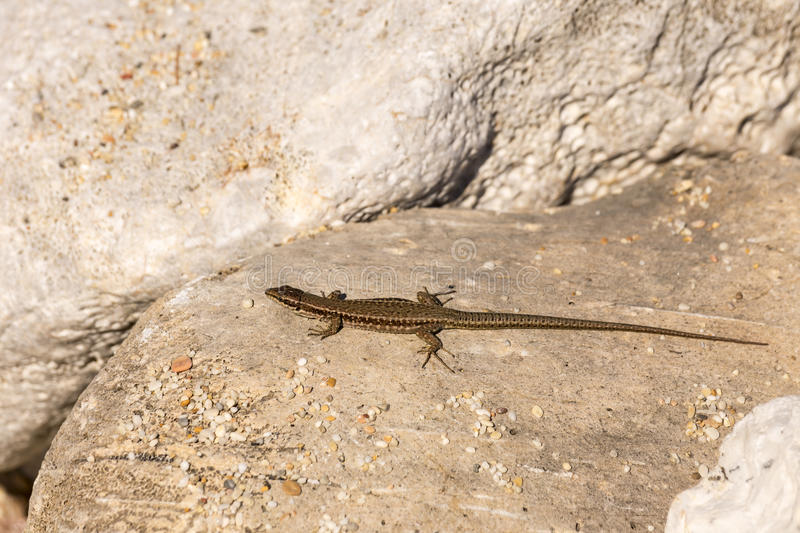 The lizard sits on a rock. Lizard sits on a rock on a sunny day royalty free stock photo