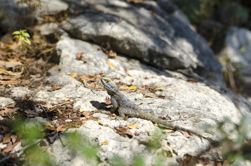 Lizard sits on the stone. Background with lizard sits on the stone stock photos