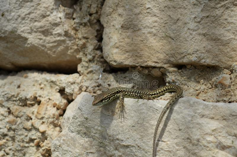 Lizard sits on stone in the sun royalty free stock photos