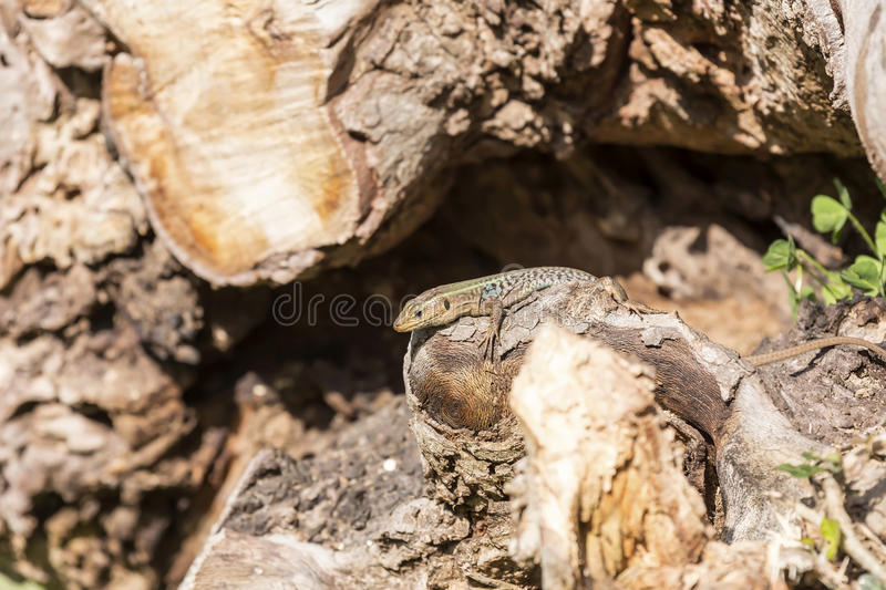 The lizard sits on a tree stock photography